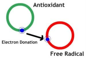 antioxidant diagram protecting free radicals