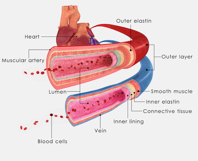 Blood vessel and vein illustration